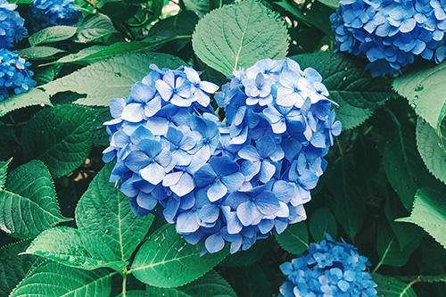 フリー写真素材:梅雨を明るくするハート型の紫陽花(青)