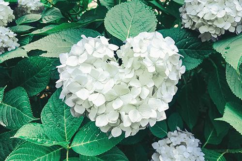 フリー写真素材:梅雨を明るくするハート型の紫陽花(白)
