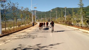 Lijiang (15)-route-vaches