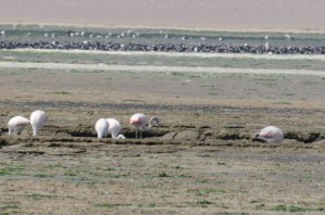 Paracas (34)-flamants