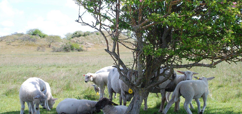 Schafe und Baum Giselheid Schulz-Ëberlin mein Modell: vier Typen