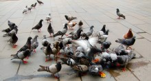 Pigeons & Pizza, Parma, Italy