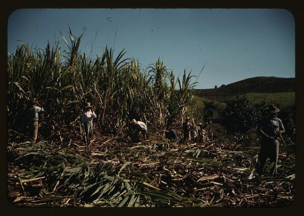 Image 2: Workers manually harvest sugarcane near San Piedras, Puerto Rico. Image courtesy of The Library of Congress Prints and Photographs Division.