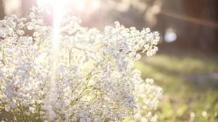 cara merawat tanaman baby breath