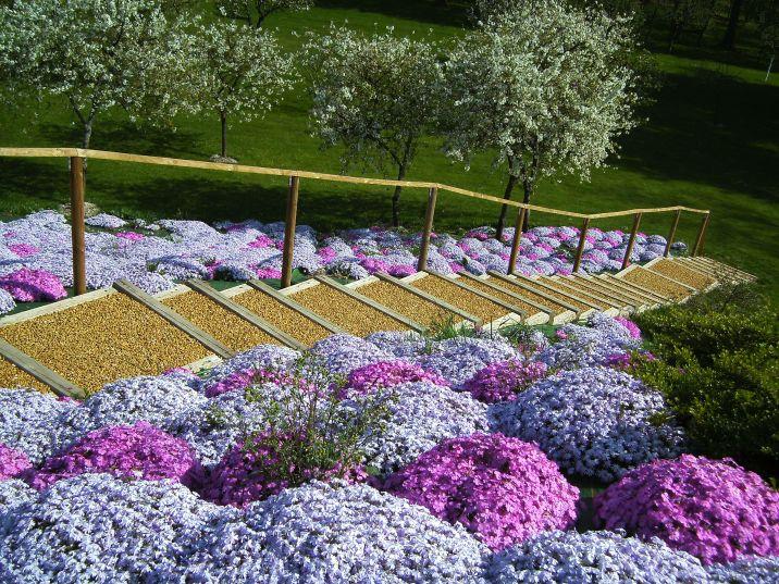 Tapis de fleurs Phlox Nain