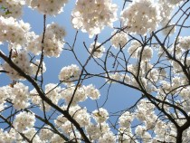 London blossom today...