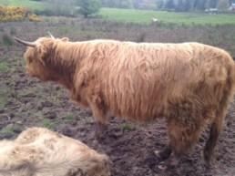 Highland Cows on Arran