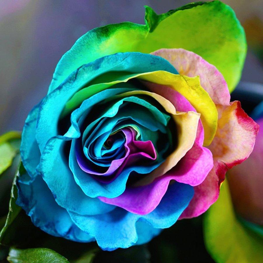Eastern Market Flower Day 2019 (rainbow rose)