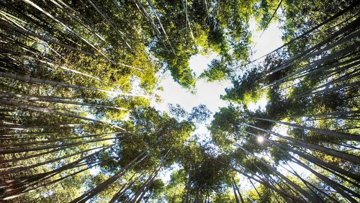 Upside View of bamboo Forest