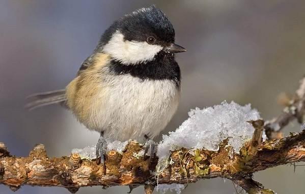 Зимующие-птицы-Названия-описания-и-особенности-зимующих-птиц-21