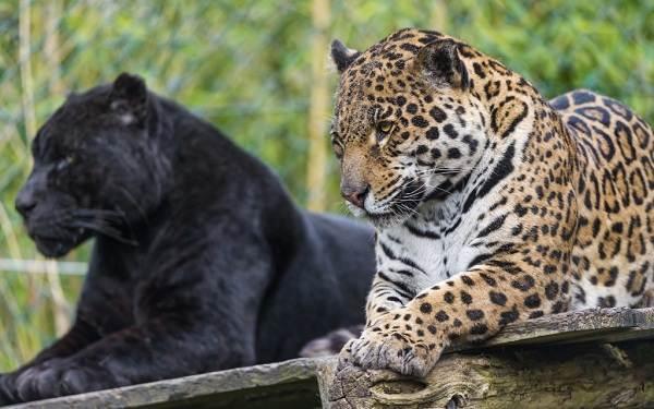 Черная пантера самец. Характер пантеры и другие интересные факты