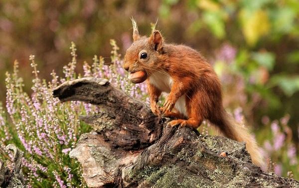 Equirrel-djur-beskrivning-sikt-livslängd-och-onsdag - proteiner-15