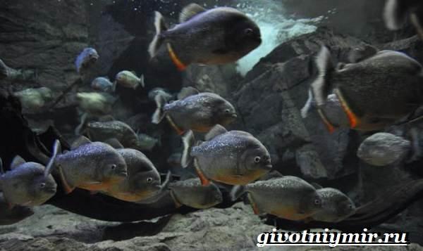 Ли пираньи. Как выглядит, где может водиться и съедобна ли рыба пиранья? Съедобна ли эта хищная рыба