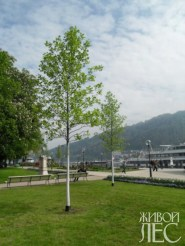 Тонкая кора молодого дерева защищнена Арбо-Флексом