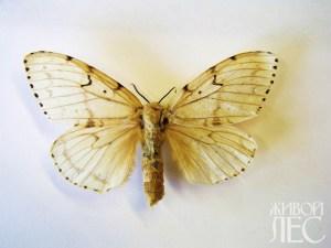 Бабочки непарного шелкопряда, самка