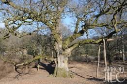 Бирнамский дуб
