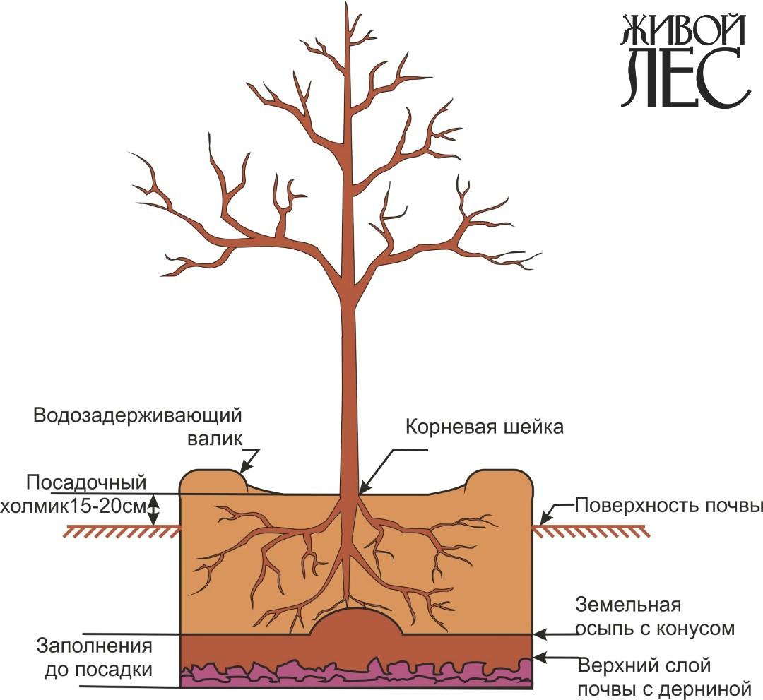 вычитала корни яблони находятся на повехости материала