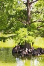 Пневматофоры болотного кипариса