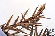 Щютте можжевельника: плодовые тела гриба на отмершей хвое