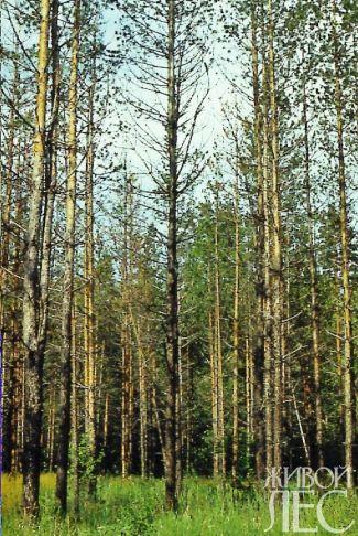 Усыхание деревьев в очагах корневой губки