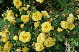Роза желтая 'Persiana'
