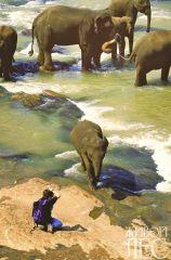 Дикие шри-ланские слоны