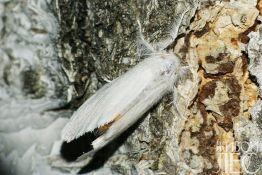 Желтогузка - Euroctis similis