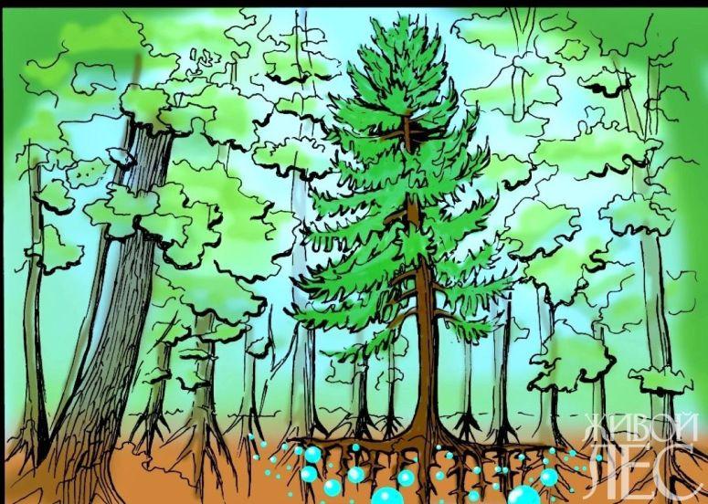 Лиственница в дубравах повышает верхних слоев слоев почвы, способствует увеличению количества подвижного фосфора и калия