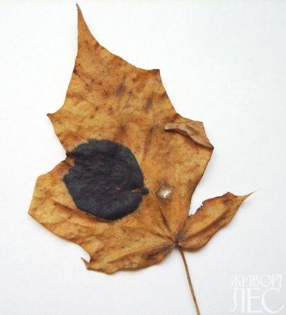 пятнистости листьев
