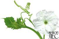 Цветение лагинарии