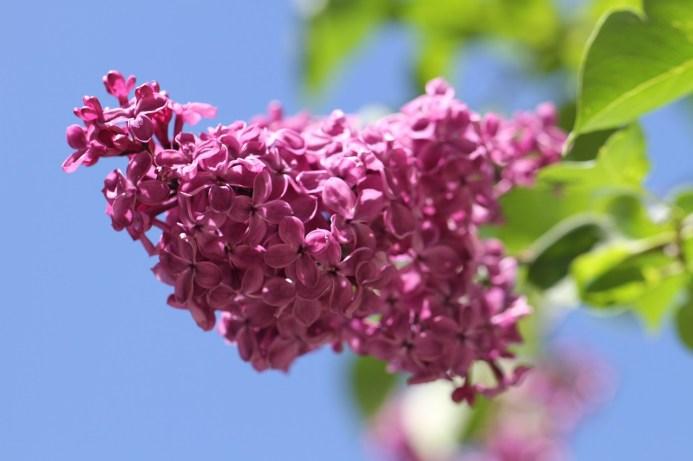 lilac-140200_1280