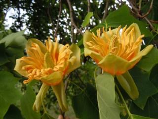 Лириодендрон тюльпанный