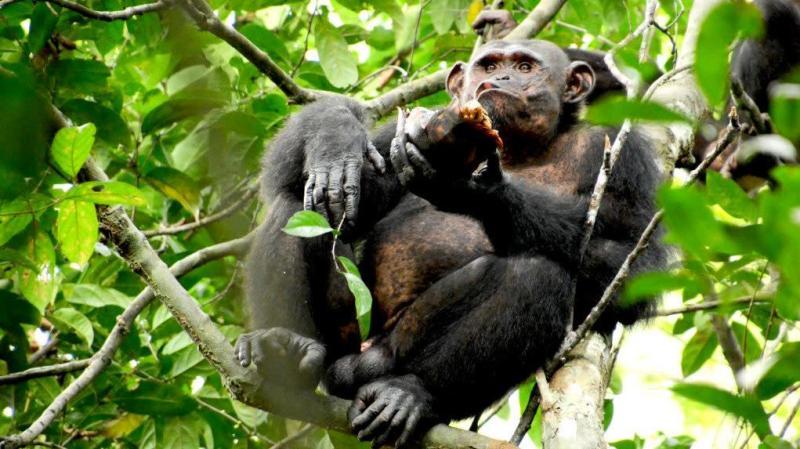 Chimpanzé sentado no galho de uma árvore. Sua pata esquerda segura o casco quebrado de uma tartaruga. Ele parece estar mastigando.