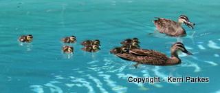 ducklings-img_7706-001