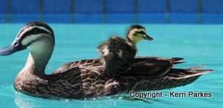 ducklings-img_7865-001