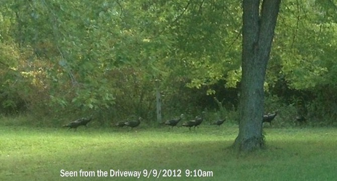 In the Country - Turkeys in the Yard!