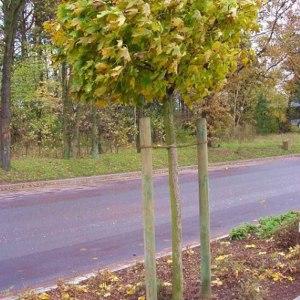 Baumpfaehle gespitzt zum Pflanzen