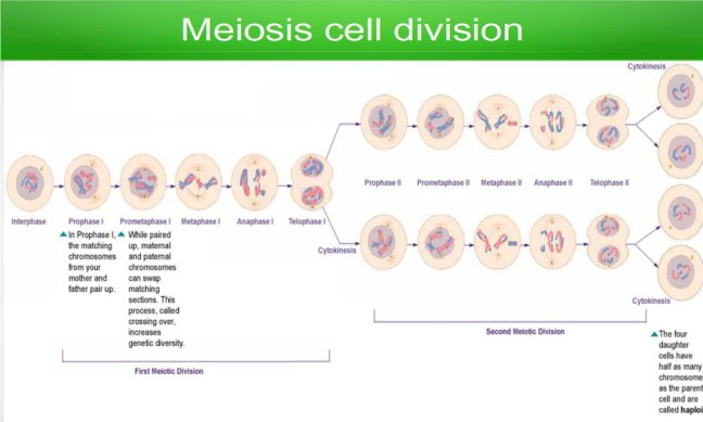 meiosis-division stage
