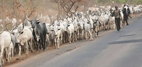 Amotekun Seizes Over 100 Cows For Violating State Law In Ondo (Read Full Details) 1