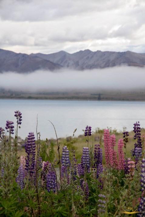 Lupinus yang tumbuh disekitar danau