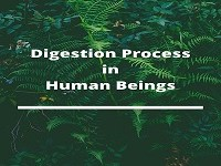 Digestion Process in human beings