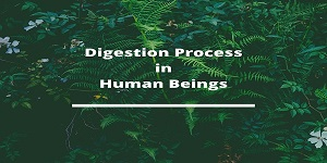 digestion human beings - Digestion Process in human beings