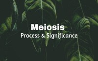 Meiosis (Reductional Cell Divison)- Process and Significance