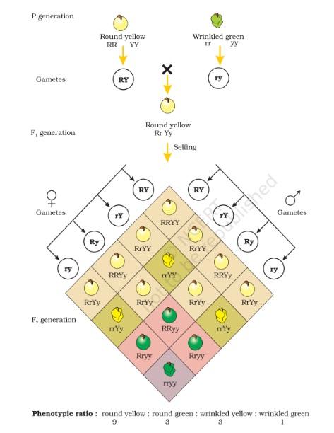 dihybrid cross - Mendelism or Mendel's Principles of Inheritance