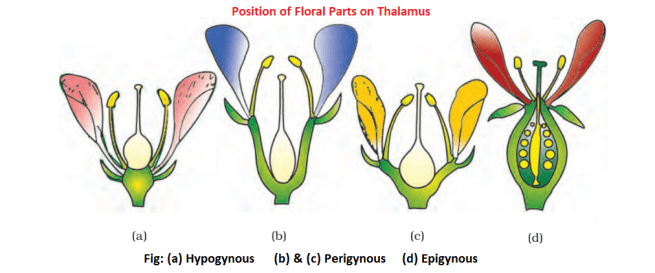 position of floral parts on thalamus - Essential and Non-essential Parts of the Flowers