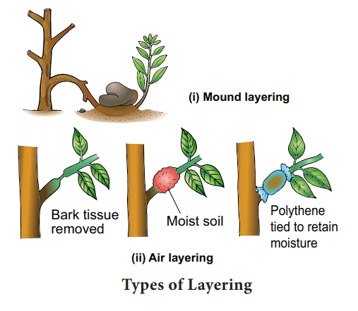 types of layering vegetaive propagation - Vegetative Propagation: Natural & Artificial Methods