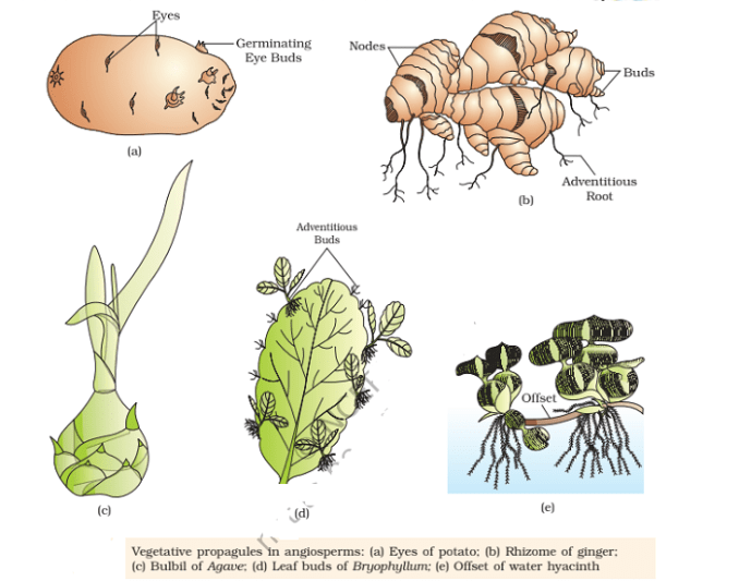 vegetaive propagation in plants - Vegetative Propagation: Natural & Artifical Methods