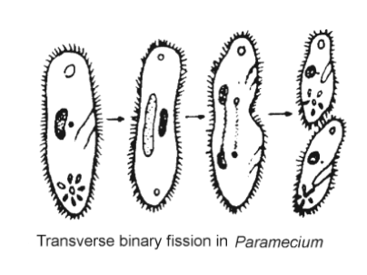 Transverse Binary Fission in paramecium - Asexual Reproduction- Types, Characteristics And Significance