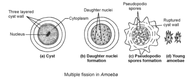 multiple fission in amoeba - Asexual Reproduction- Types, Characteristics And Significance