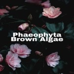 Phaeophyta- Brown Algae